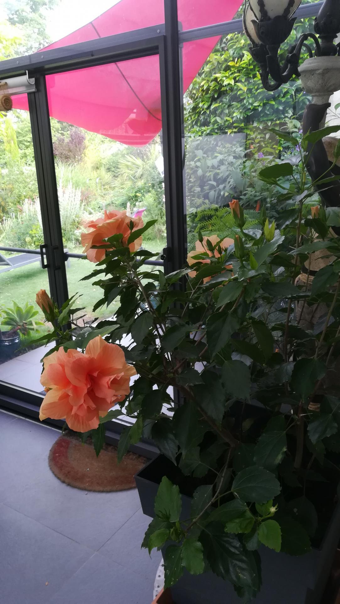 hibiscus trentenaire dans veranda