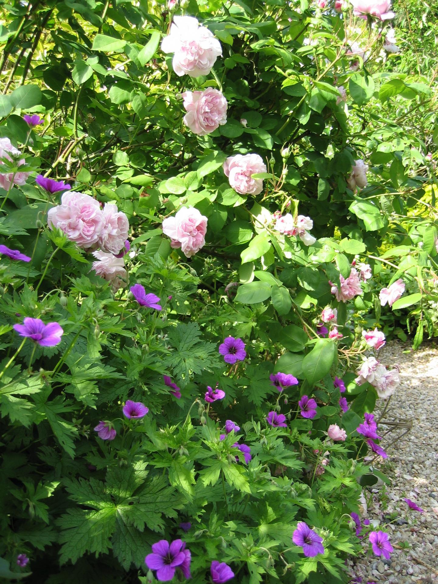 rosiers de printemps