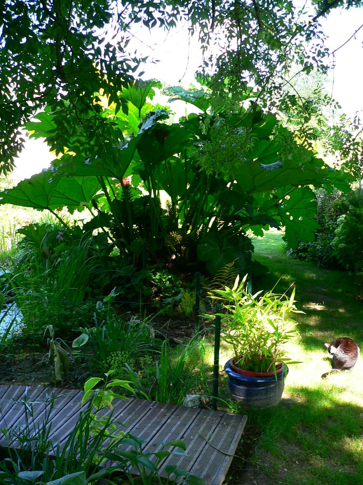 des feuilles géantes de Gunnera